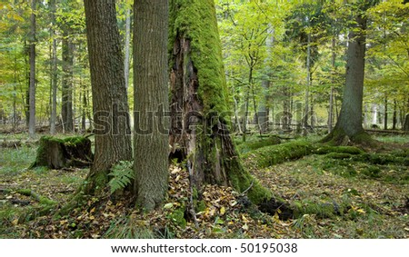 Autumnal landscape of deciduous stand with alder trees stump and old oak trees in background moss wrapped - stock photo