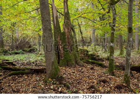 Autumnal landscape of mixed stand with spruce tree stumps and some wood lying - stock photo