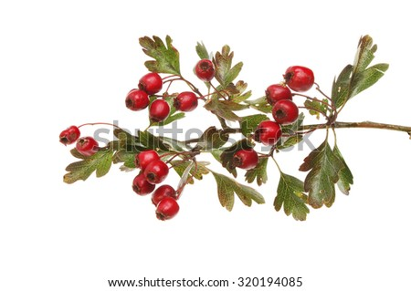 Autumnal leaf color and berries of Hawthorn,Crataegus Douglasii, isolated against white - stock photo