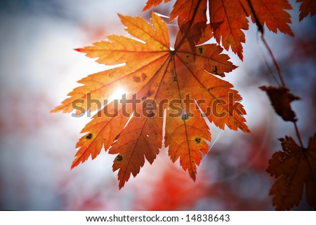 Autumnal leaf of maple and sunlight - stock photo