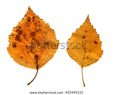 Autumnal Leafs Set Isolated on the White Background