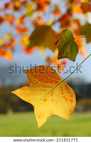 Autumnal leaves. Autumn leaves against the blue sky. Picture taken in Hamburg park. - stock photo