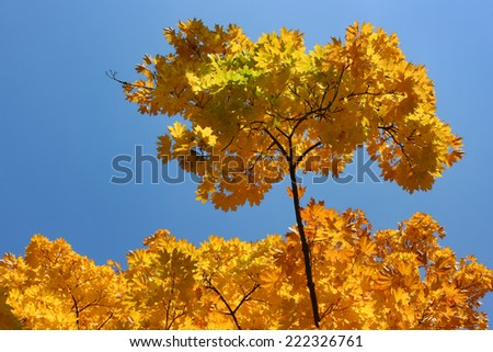 Autumnal leaves. Autumn leaves of maple against blue sky. - stock photo