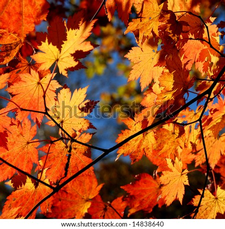 Autumnal leaves of maple, texture - stock photo