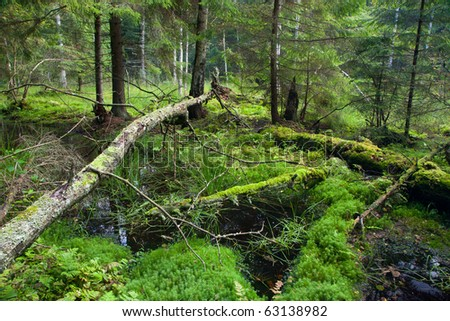 Autumnal look of swampy stand with little river flowing among spruces - stock photo