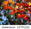 Autumnal maple, background - stock photo