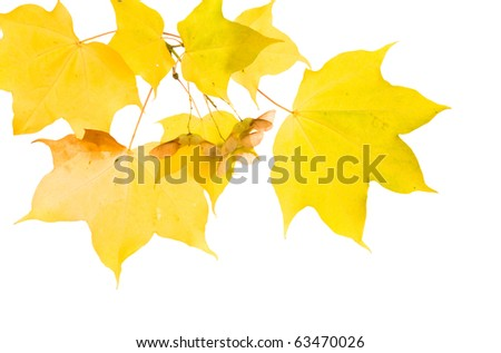 autumnal maple branch with translucent yellow leaves and seed cluster; isolated on white background;