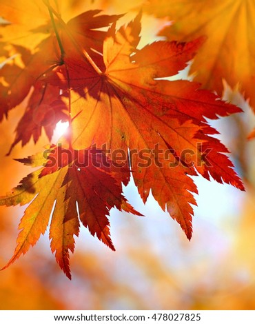 Autumnal maple leaves in blurred background
