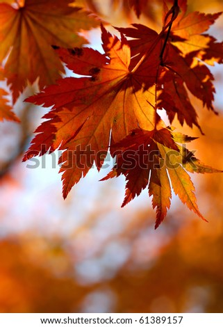 Autumnal maple leaves in blurred background - stock photo