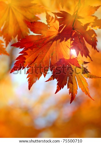 Autumnal maple leaves in blurred background, red foliage, sunlight - stock photo