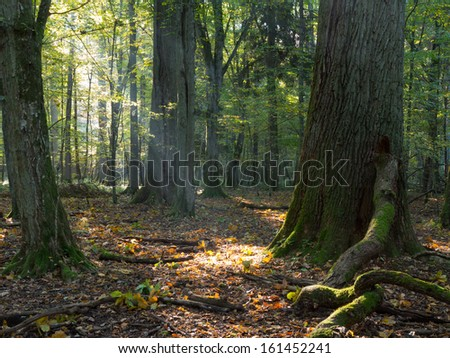 Autumnal morning in the forest with mist and alder trees - stock photo