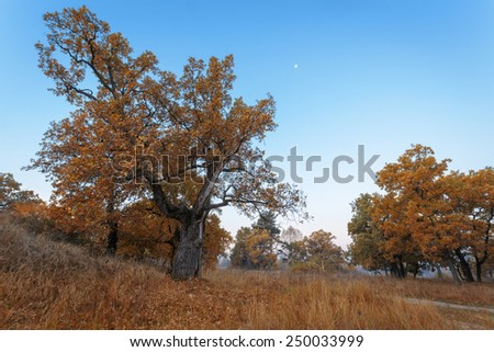 Autumnal oak trees. - stock photo