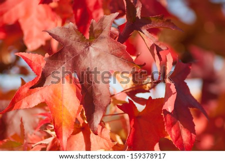 Autumnal red leaves