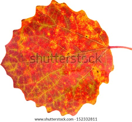 autumnal stilllife with aspen leaves - stock photo