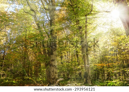 Autumnal trees with colorful foliage and sun rays. Forest background. - stock photo