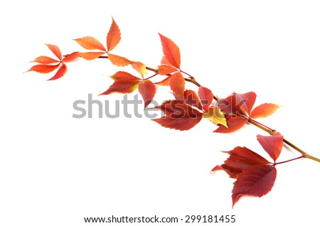 Autumnal twig of grapes leaves (Parthenocissus quinquefolia foliage). Isolated on white background. - stock photo