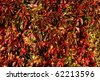 Autumnal vine leaves covering wall - stock photo