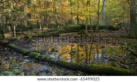 Autumnal wet deciduous stand forest with standing water and dead trees partly declined - stock photo
