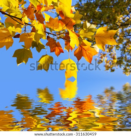 Autumnal yellow maple leaves, blue sky background - stock photo
