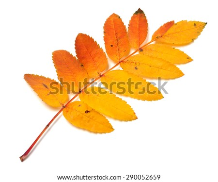 Autumnal yellowed rowan leaf isolated on white background - stock photo