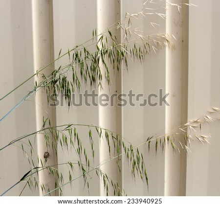 Avena fatua common wild oats growing in spring and summer   against a cream metal fence is a pasture  weed the seeds when ripe eaten by the  larvae of some Lepidoptera species . - stock photo