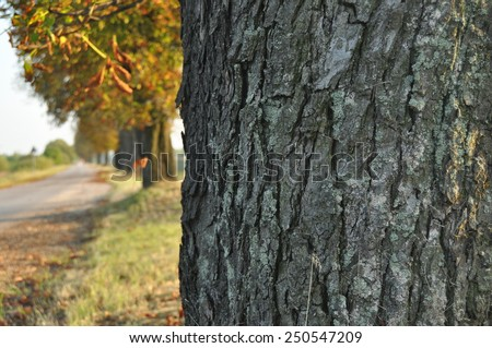 Avenue of chestnut trees. Chestnuts on the road. Autumn walk down the street - stock photo
