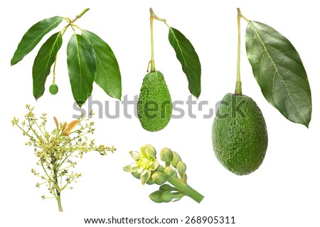 Avocado development stages isolated on a white background (flower, inflorescence, fruit) - stock photo