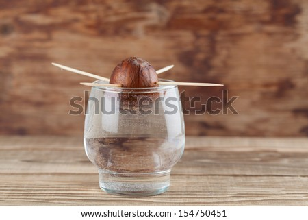 Avocado seed in glass with water first growth stage of avocado plant - stock photo