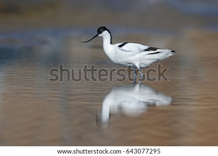 Avocet, Recurvirostra avosetta,  Single bird in water, Bulgaria, April 2017