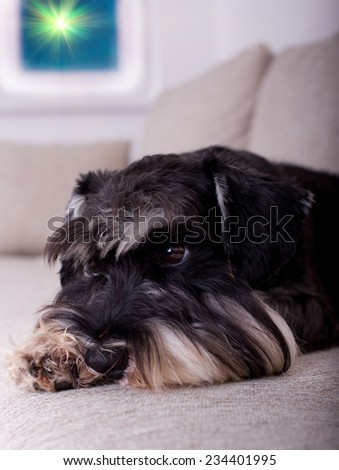 Awake black and silver miniature schnauzer lying on sofa and listening sounds in the night - stock photo