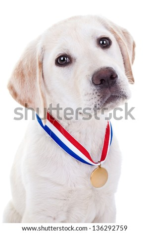 Award winner champion Labrador retriever puppy wearing gold medal isolated on white - stock photo