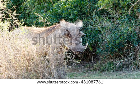 Away - Phacochoerus africanus - The common warthog is a wild member of the pig family found in grassland, savanna, and woodland in sub-Saharan Africa. - stock photo