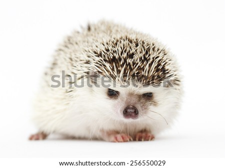 awesome and beautiful rodent hedgehog baby in white background
