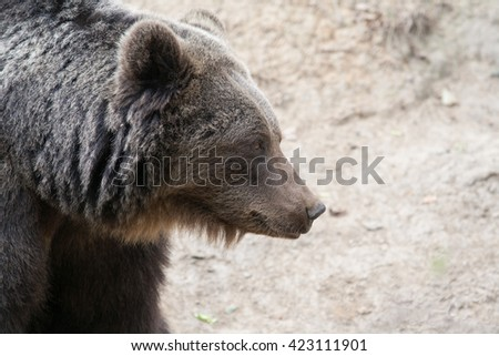 Awesome bear outdoor shot.  Animal shot capturing Brown Bear.