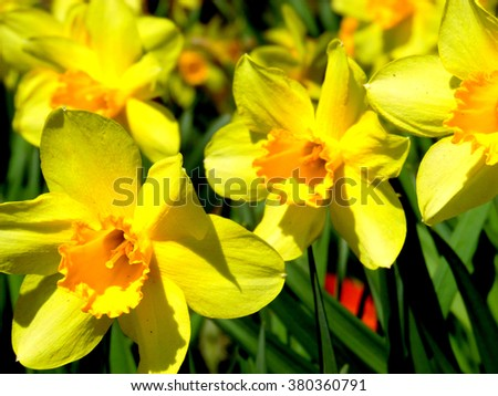Awesome beautiful daffodil flowers in early spring - stock photo