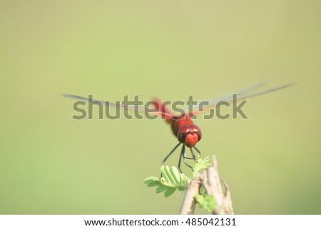 Awesome red dragonfly