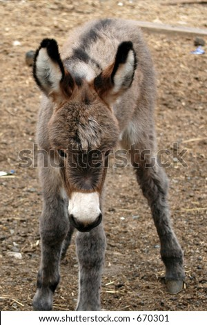 Awkward Baby Donkey - stock photo