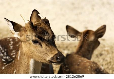 Axis deers  - stock photo
