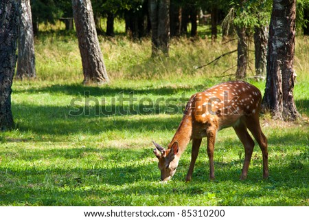 Axis or Spotted Deer