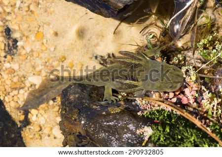 Axolotls tigrinum (Tiger salamander)  in the natural environment.  Uinta-Wasatch-Cache National Forest, Utah - stock photo