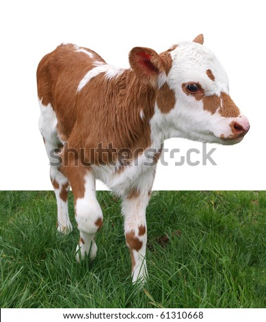 Ayrshire Hereford Cross Calf isolated with clipping path