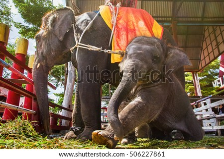 Ayutthaya, Thailand - October, 21, 2016 : Thai mother elephant for tourists ride tour and baby elephant at Ayothaya Floating Market.Ayutthaya, Thailand