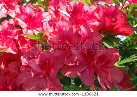 azalea - stock photo