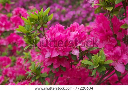 Azalea - stock photo