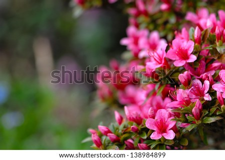 Azalea blooming pink and purple spring flowers. Gardening - stock photo