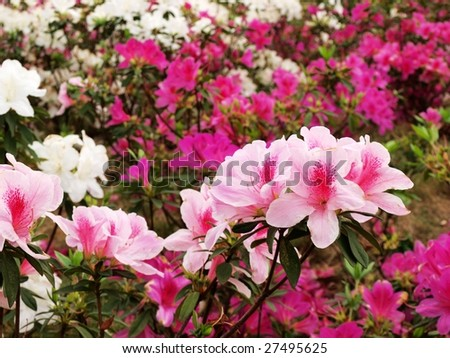 Azalea cluster in the garden. - stock photo