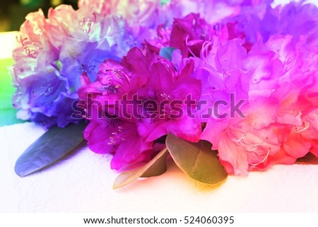 Azalea colorful blossoms in spring. Closeup beautiful rhododendron bouquet national flower of Nepal, Image with rainbow color filter effect for gardening concept, wedding decoration interieur blog.