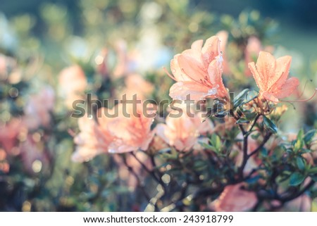 Azalea flower ,Azalea flower in the morning - stock photo