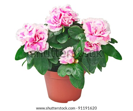Azalea flower in the pot isolated on a white background