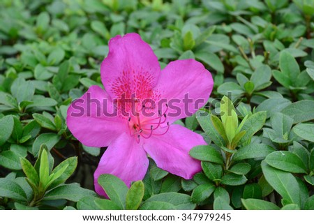 Azalea flowers blooming at the garden in springtime. - stock photo